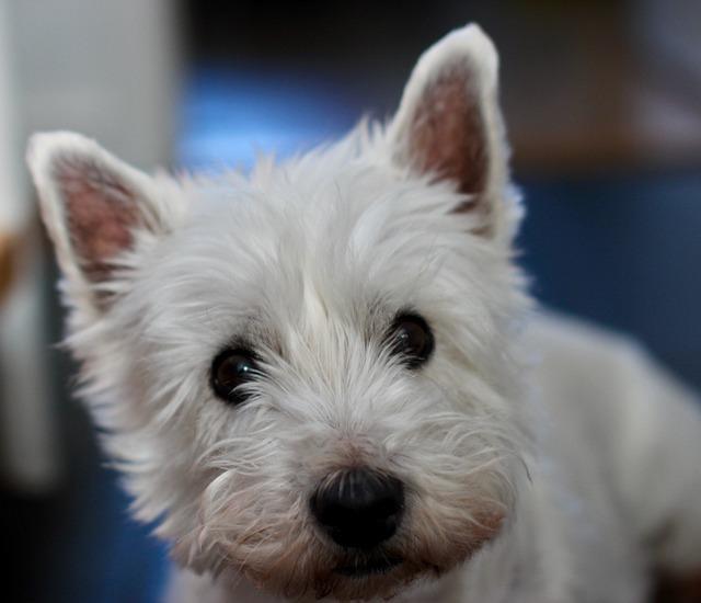 Dog, Westie, Terrier, White, West Highland, Small, Pet