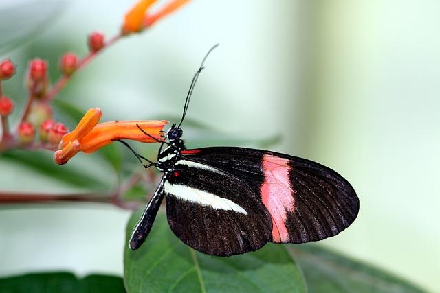 Small Postbote, Butterfly, Melpomene, Black, Red, White