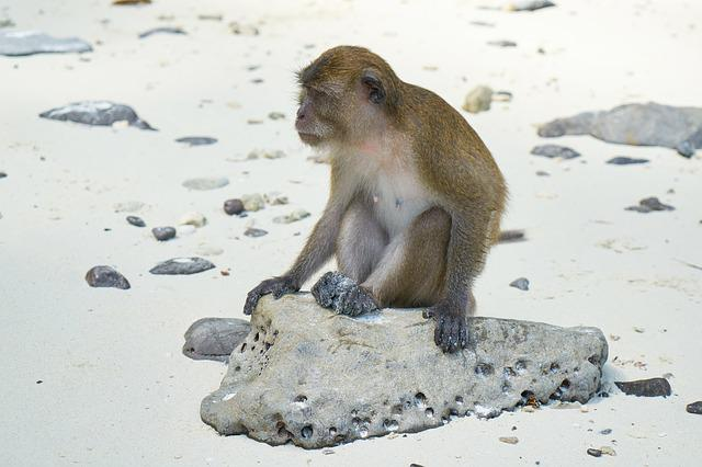 Monkey, Beach, Animal, Wild, Cute, Small, Sand, Sitting