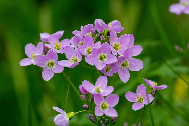 Cuckoo Flower, Wildflowers, Smock
