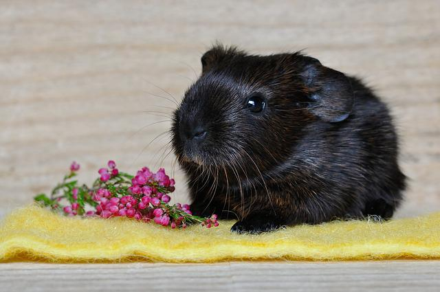 Guinea Pig, Smooth Hair, Young Animal, Gold Agouti