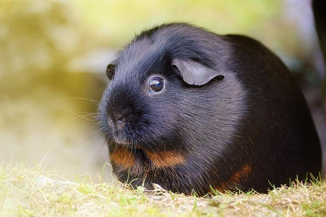 Guinea Pig, Smooth Hair, Black Tan, Black Red Loh