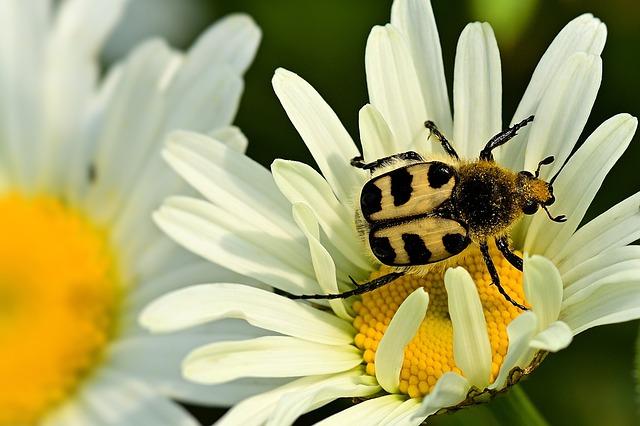 Beetle, Brush Beetle, Smooth Rail Brush Beetle, Insect