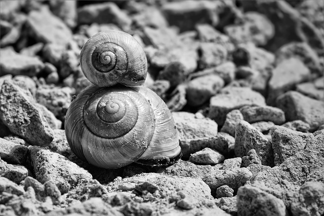 Snails, Shell, Snail Shells, Black And White, Reptiles