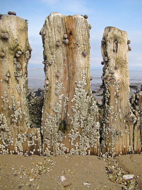 Groynes, Sea, Beach, North Sea, Barnacles, Snails
