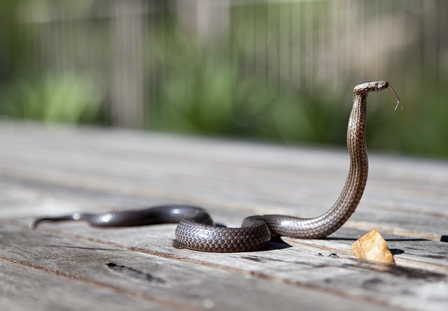 Animal, Close-up, Cobra, Outdoors, Reptile, Snake