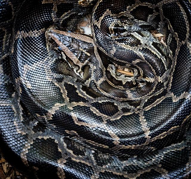 Python, Snake, Wildlife, Animal, Nature, Serpent