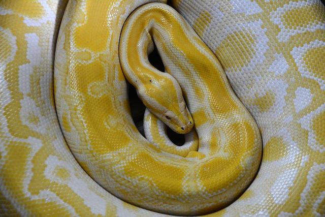 Snake, Yellow, Reptile, Non Toxic, Boa, Constrictor