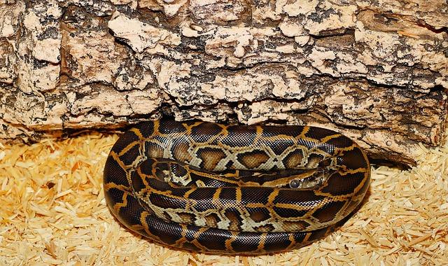 Snake, Burmese Python, Young Animal, Dark Tigerpython