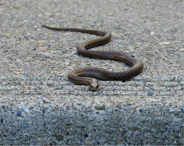 Garter Snake, Snake, Reptile, Garter