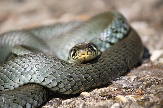 Snake, Grass Snake, Natter, Reptile, Natrix Natrix