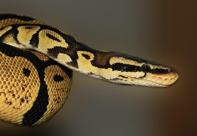 Snake, Python, Ball Python, Python Regius, Beauty