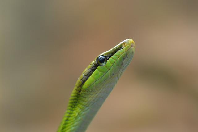 Snake, Schlange, Serpent, Zoo, Hose, Reptile, Gonysoma