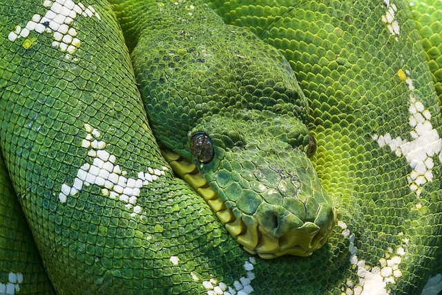 Snake, Python, Animal, Scale, Creature, Snakehead