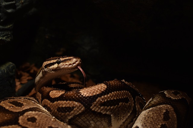 Ball Python, Snakehead, Yellow, Snake Tongue