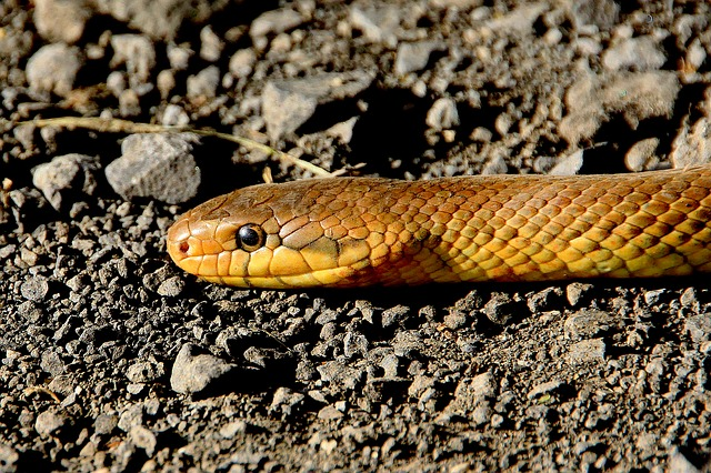 Snake, Animals, Reptile, Non Toxic, Snakes, Species
