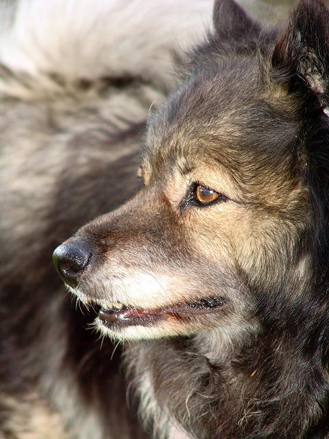 Dog, Keeshond, Snout, Fur, Pet, Dog Head