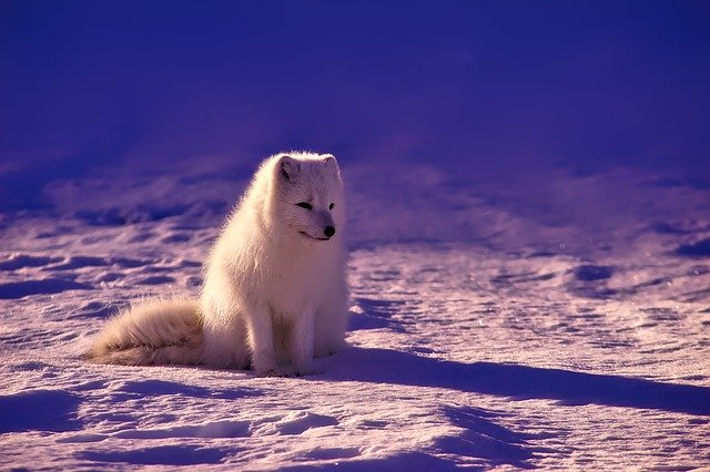 Fox, Arctic, Animal, Snow, Field, Winter, White