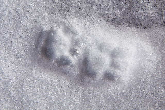Animal Track, Reprint, Paw, Cat, Snow