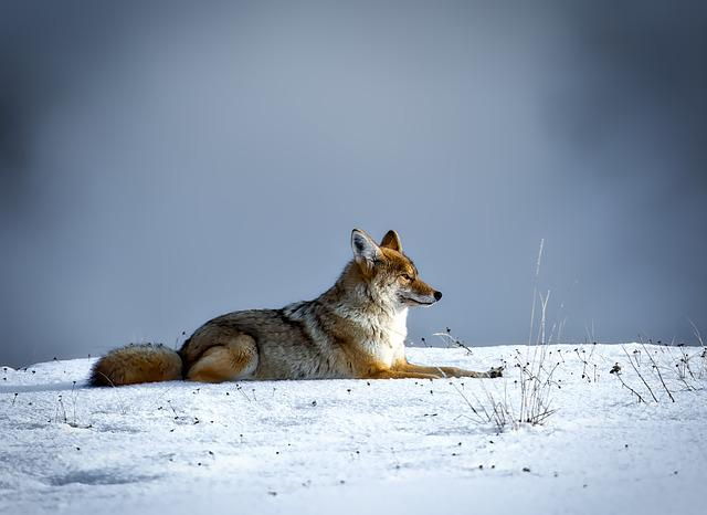 Coyote, Animal, Wildlife, Snow, Winter, Yellowstone