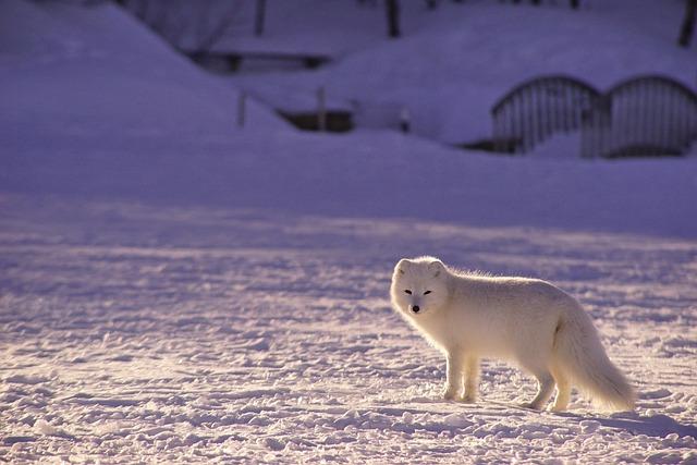 White, Fox, Snow, Arctic, Arctic Fox, Snow Field, Snowy