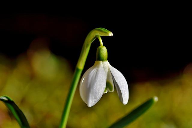 Snowdrop, Snow Bell, Spring Bells, Flower, Blossom