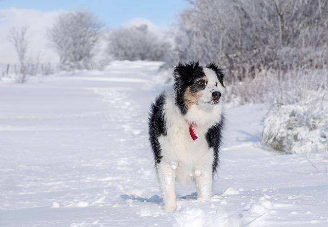 Winter, Snow, Dog, Berger, Australian, Animal