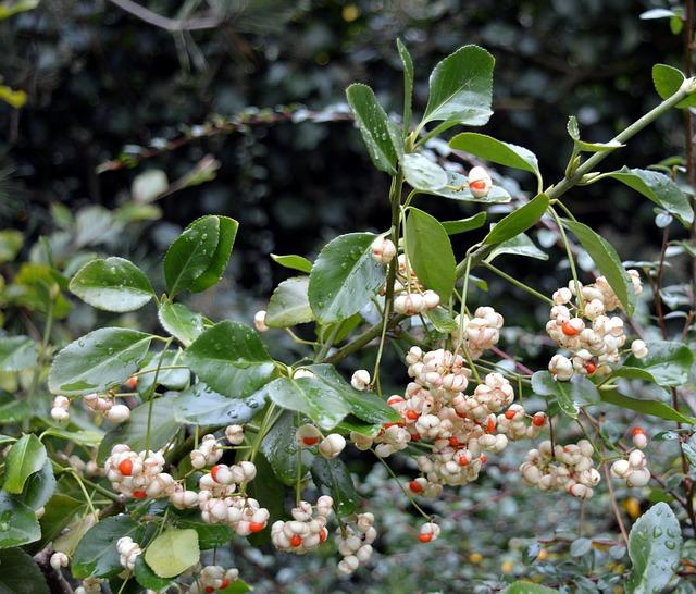 Snow Berry, Knallerbse, Bush, Berries