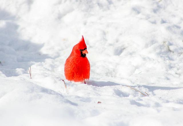 Cardinal, Bird, Snow, Winter, Cold, Frost, Frozen