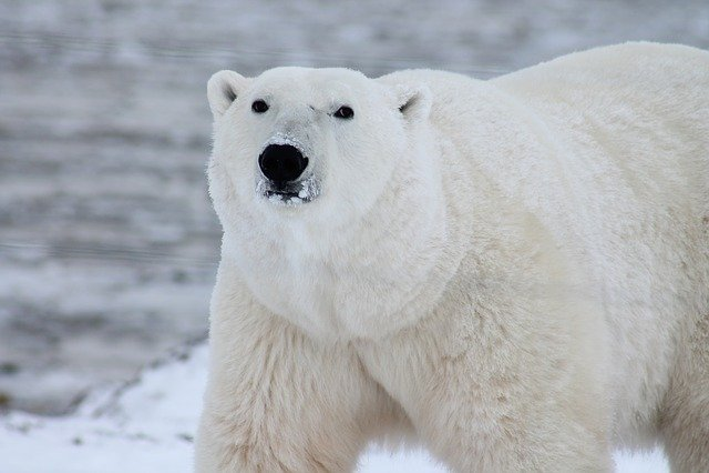 Polar Bear, Arctic, Wildlife, Snow, Wild, Carnivore