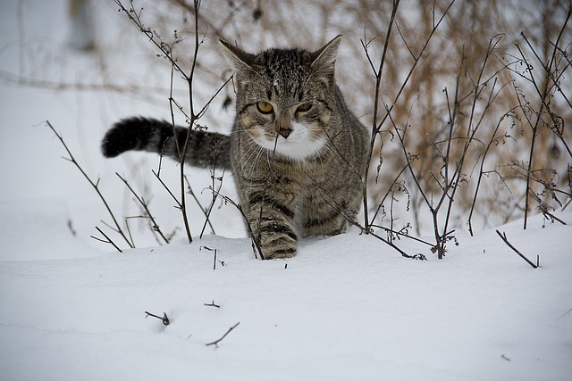 Cat, Animal, Snow
