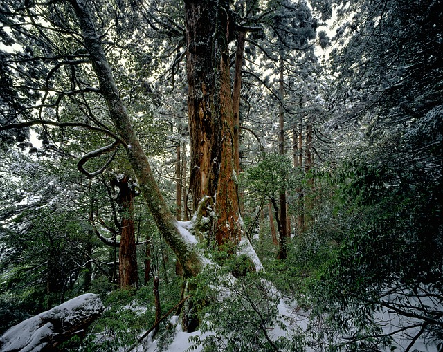 Cedar Forest, Winter, Snow, Yakushima Island