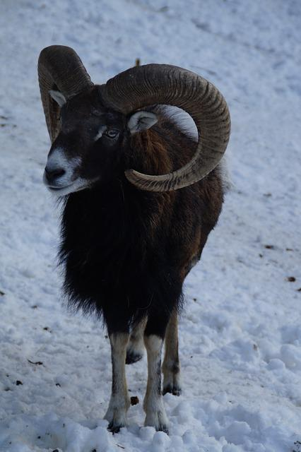 Sheep, Mouflon, Winter, Snow, Winter Fur, Wintry, Cold