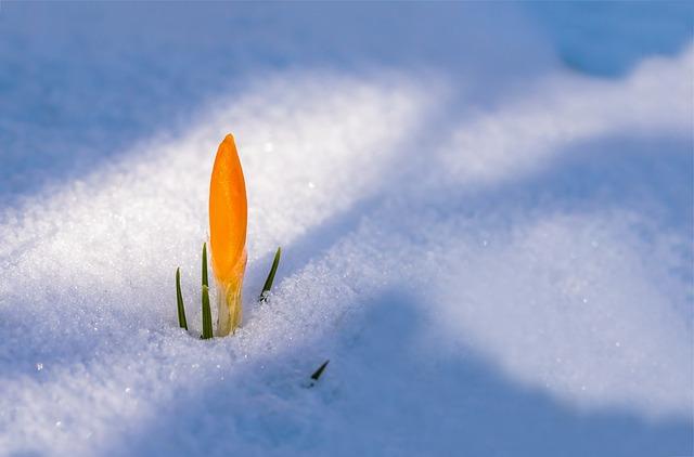 Crocus, Flower, Snow, Snow Cover, Snow Break, Light