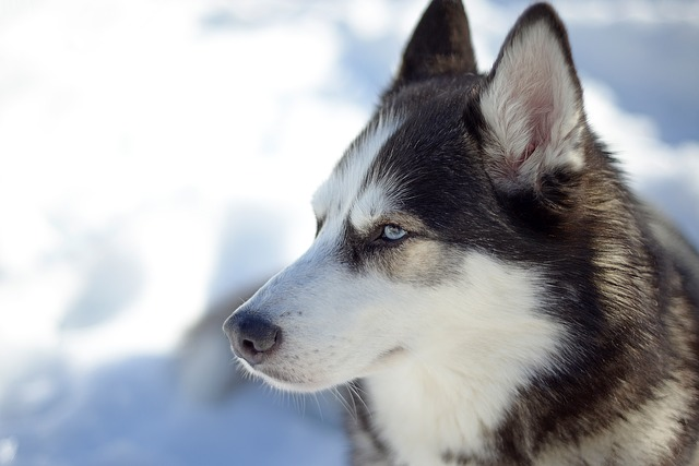 Dog, Cute, Animal, Canine, Mammal, Snow, Husky, Pet