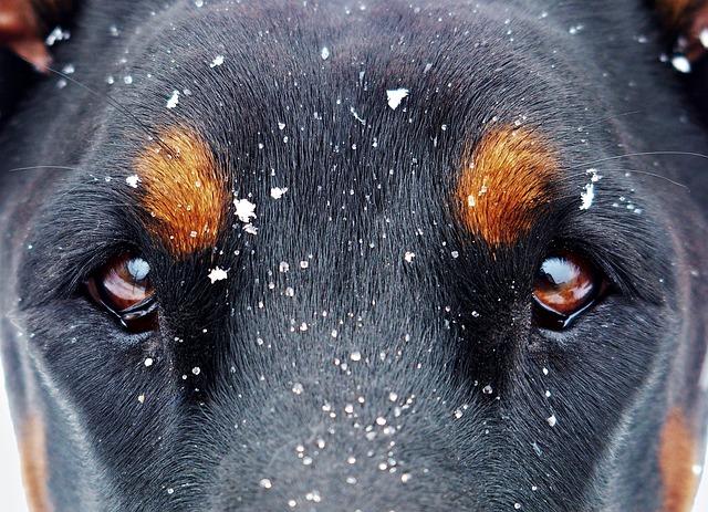 Eyes And The Snow Flakes, Doberman, Snow, Dog, Eyes