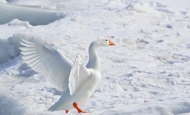 Greater Snow Goose, Goose, Snow Goose, Wading Bird