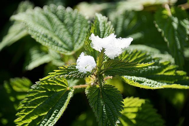 Snow, Stinging Nettle, Plant, Green, Nature