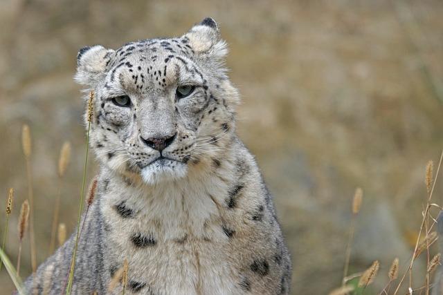 Snow Leopard, Irbis, Big Cat, Predator, Noble, Stains