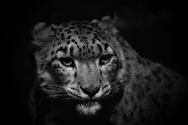 Snow Leopard, Cat, Leopard, Nature, Hunter, Threatened