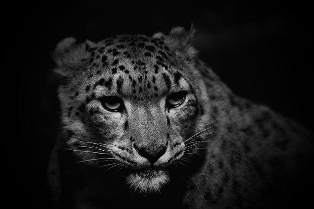 Snow Leopard, Cat, Leopard, Nature, Hunter, Threatened