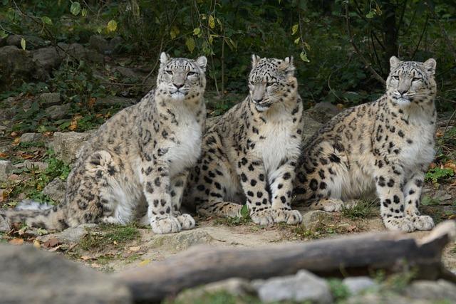 Snow Leopards, Family, Boy, Wildlife Photography