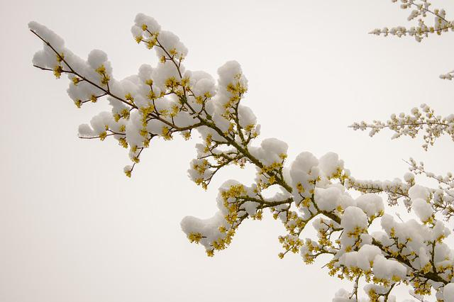 Snow, March Snow, Flowers