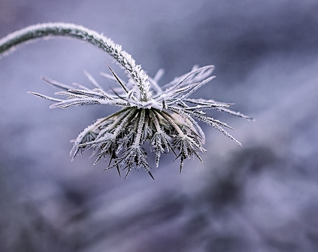 Plant, Flower, Season, Frost, Winter, Nature, Snow