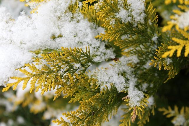 Thuja, Snow, Tree, Season, Winter, Nature, Twigs
