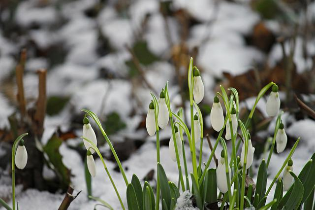 Snowdrop, Snow, Cold, Spring, Signs Of Spring