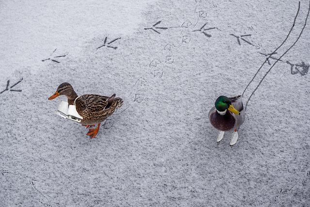 Ducks, Ice, Skates, Water Bird, Frozen, Snow, Winter