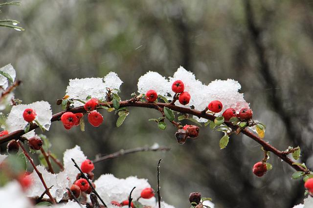 Winter, Snow, Red, Plant, Snow Berry