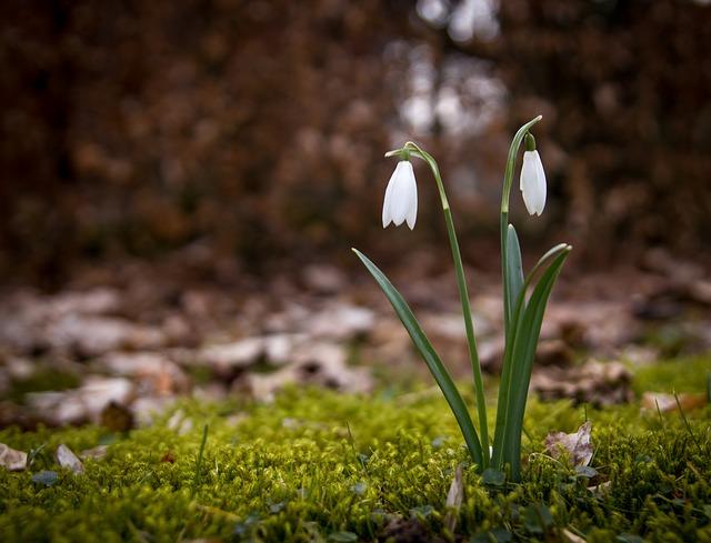 Snowdrop, Spring, Snowdrops, Flowers, Forest Floor
