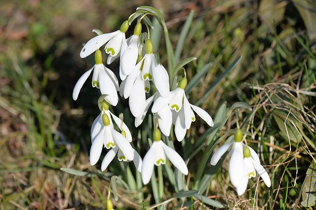 Snowdrop, Flowers, Spring, White, Spring Flower, Close